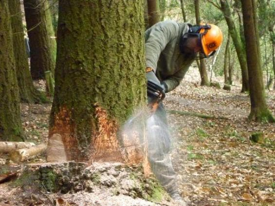 Спиливание большого дерева