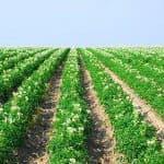 Мотоблок — главный помощник при посадке картофеля
